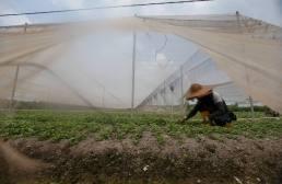 LEDANG 31MARCH 2016. Pekerja ladang sayur, Mohamad Randi melakukan memeriksa benih sayur yang rosak pada setiap hari berikutan cuaca panas. kebiasaan beliau akan menyiram air ada sayur sebanyak dua kali sehari berikutan cuaca panas beliau terpaksa menyiram air sebanyak 3 atau 4 kali sehari bagi mengelakan ke rosakan pada sayur di Ladang sayur, Bukit Gambir Ledang. Foto Syarafiq Abd Samad