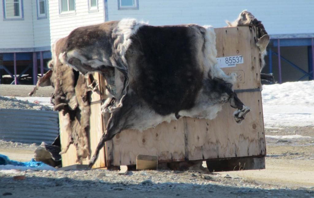 Caribou Skins waiting to be Cleaned