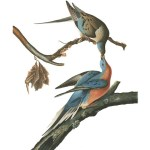 AUDUBON LIMITED EDITION PRINT
