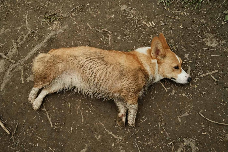 A very dirty corgi after a few hours at Etobicoke Valley Dog Park