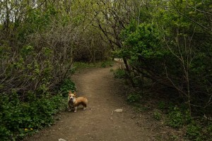 Etobicoke Valley Dog Park - Image of Limone in the shaded trail