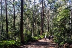 Ginger Meggs Forest Blue Gum Walk Hornsby