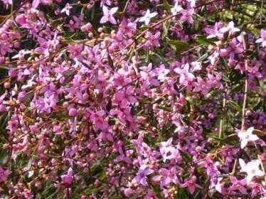 Sydney Boronia, Spring flowers at Muogamarra Nature Reserve