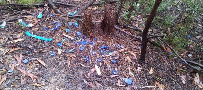 Satin Bower Bird Nest, with collection of blue found objects
