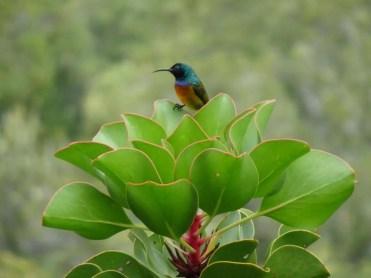 Table Mountain Sunbird