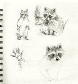 RacoonSketches056