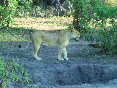 Gøy å se en løve live! Denne var tørst og kom ned til elva!