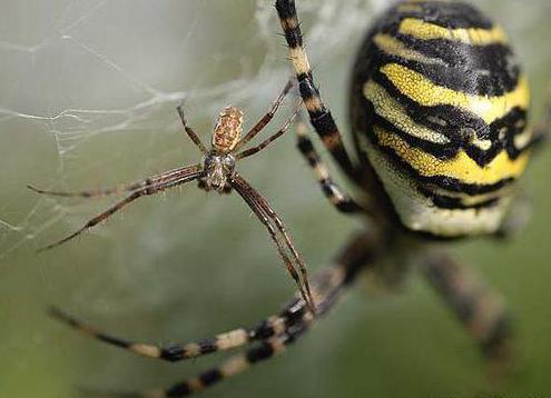 Паук с желтыми полосками на брюшке