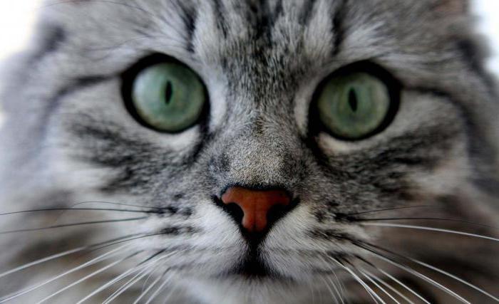 Crna kuja ružičasta maca