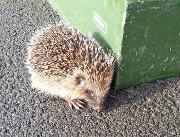We rescued a hedgehog in 2015.