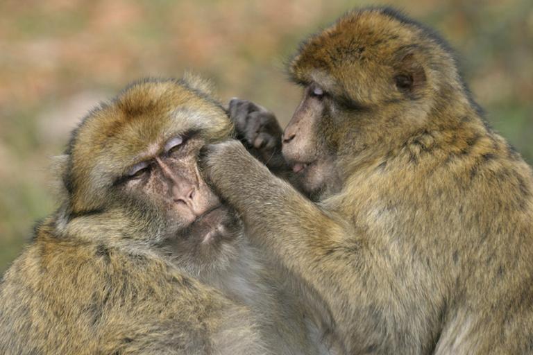 """Résultat de recherche d'images pour """"épouillage singe"""""""