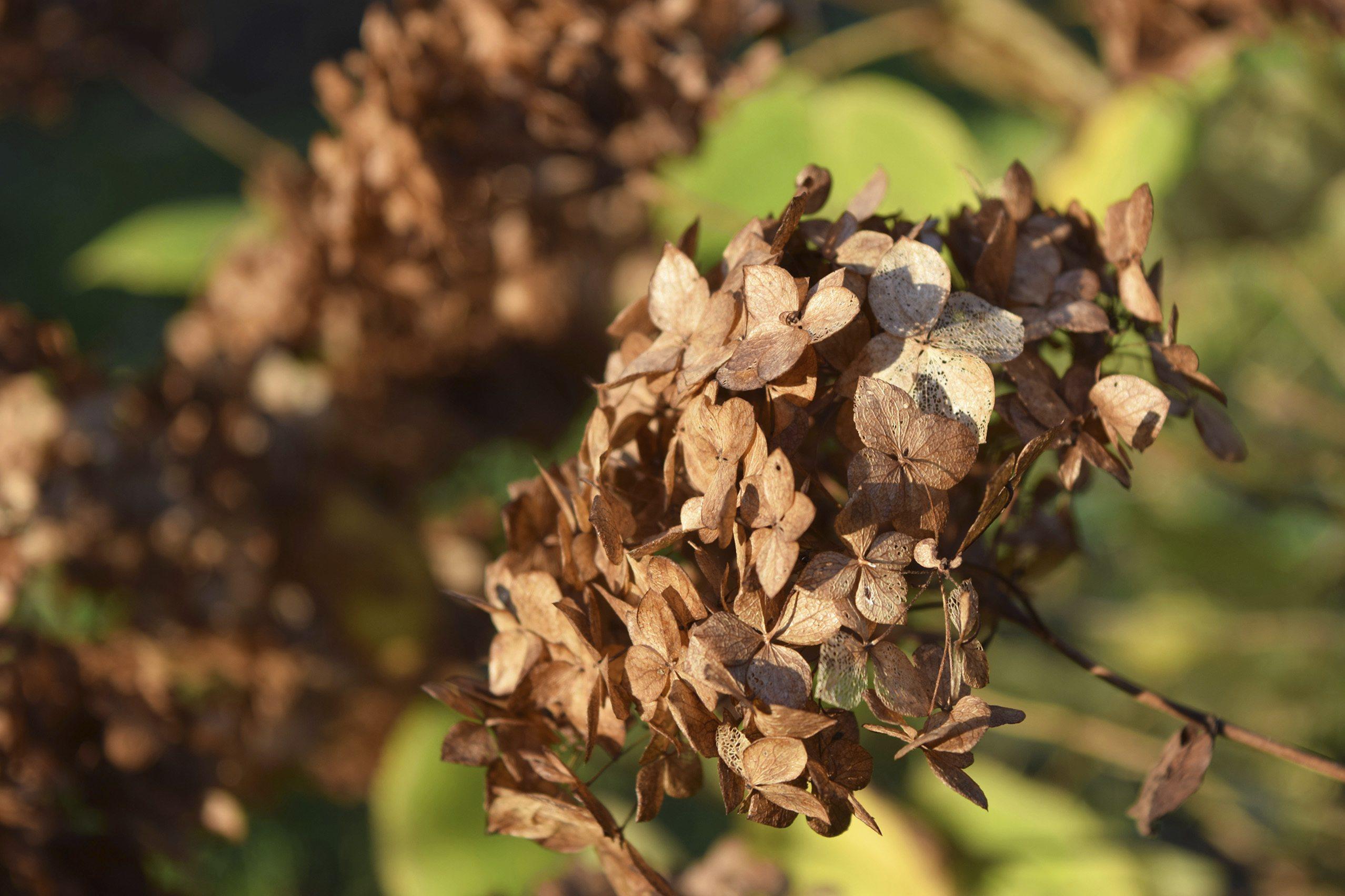 winter-garden-care-hydrangea