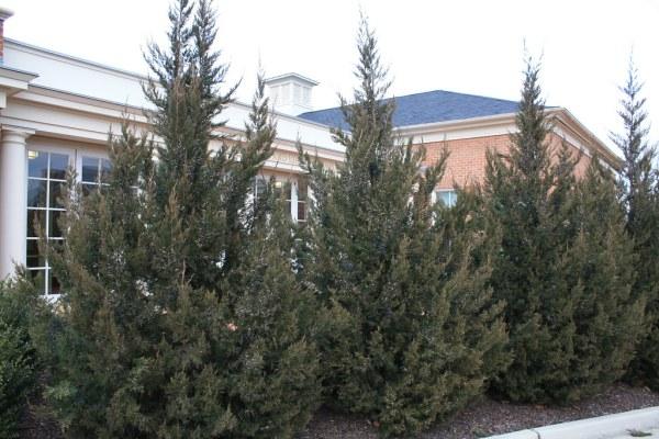 chinese-juniper-juniperus-chinensis
