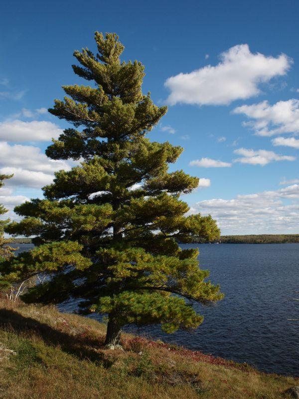 eastern-white-pine-pinus-strobus