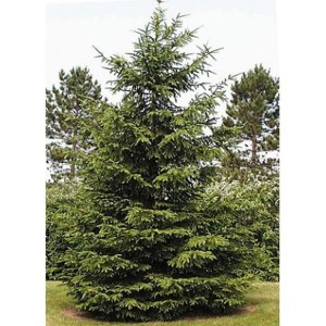 norway-spruce-picea-abies