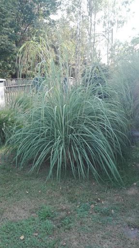 plume-grass-erianthus-ravennae
