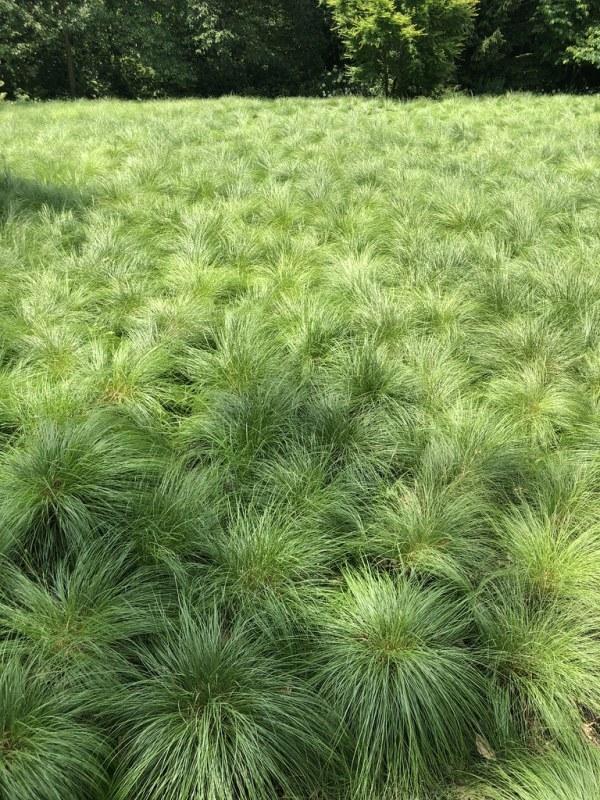 prairie-dropseed-sporobolus-heterolepis