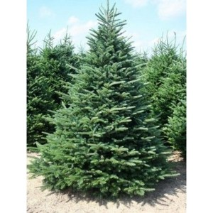 frazier-fir-abies-fraseri