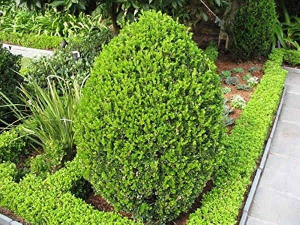 boxwood-wintergreen-buxux-sin-var-insularis
