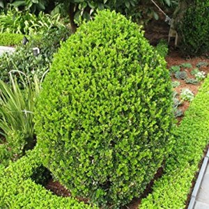 boxwood-wintergreen-buxux-sin-var-insularis
