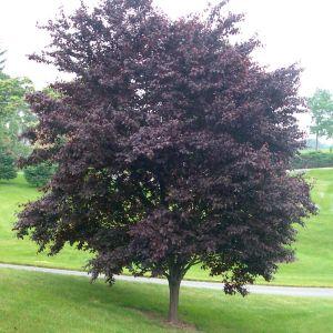 cherry-plum-krauter-vesuvius-prunus-cerasifera
