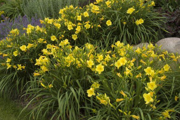 daylily-happy-returns-hemerocallis