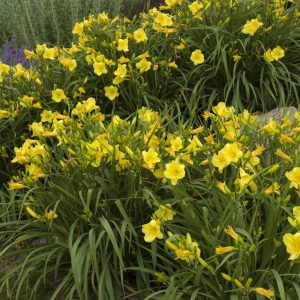daylily-happy-returns-hemerocallis
