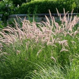 fountain-grass-hemeln-pennisetum-alopecuroides