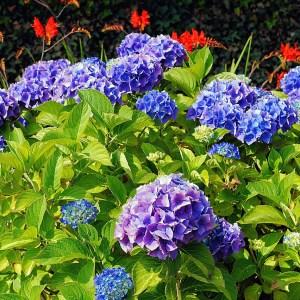 hydrangea-bailmer-endless-summer-hydrangea-macrophylla