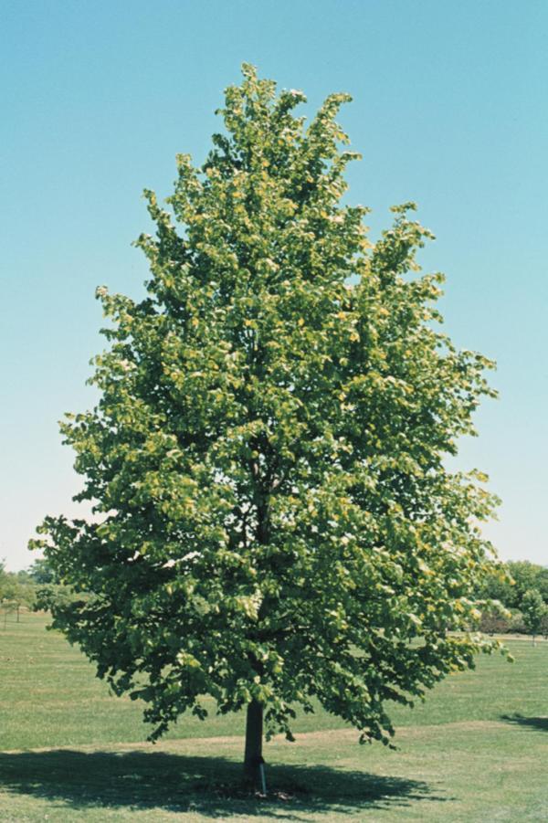 little-leaf-linden-tilia-cordata