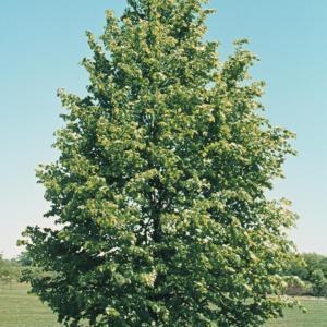 little-leaf-linden-tilia-cordata