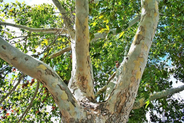london-plane-tree-platanus-x-acerifolia