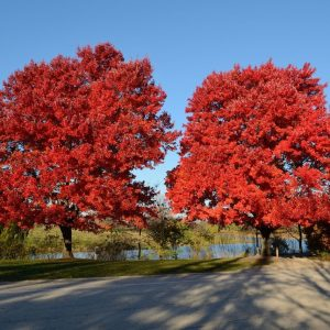 red-maple-october-glory-acer-rubrum