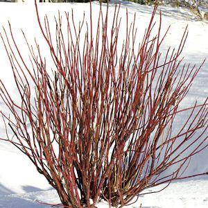 redtwig-dogwood-farrow-arctic-fire