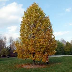 tulip-tree-liriodendron-tulipifera
