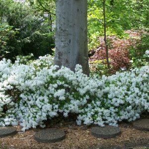azalea-delaware-white-rhododendron