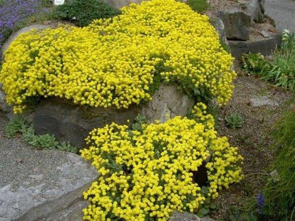 basket-of-gold-aurinia-saxatilis