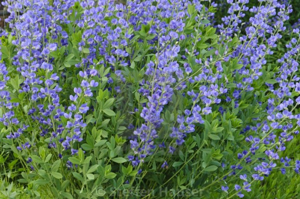 blue-false-indigo-baptisia-australis