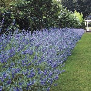 bluebeard-longwood-blue-caryopteris-x-clandonensis
