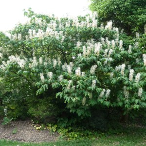 bottlebrush-buckeye-aesculus-parvifolia