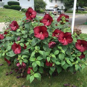 hardy-hibiscus-luna-red-hibiscus-moscheutos