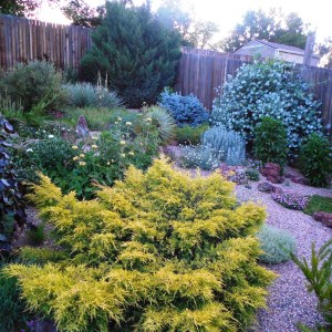 pfitzer-juniper-saybrook-gold-juniperus-x-pfitzeriana
