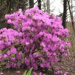 rhododendron-pjm-group