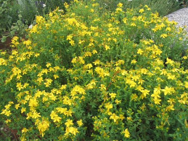 st-johns-wort-hypericum-frodosum