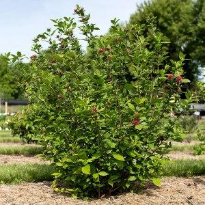 sweetshrub-calycanthus-floridus