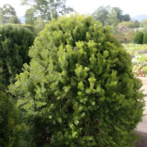 yew-taxus