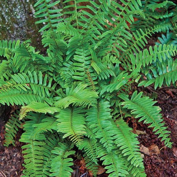 christmas-fern-polystichum-acrostichoides