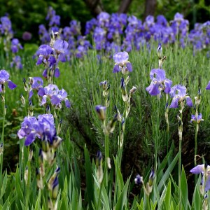 german-iris-iris-germanica