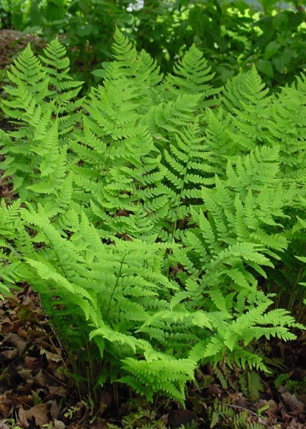 marginal-wood-fern-dryopteris-marginalis