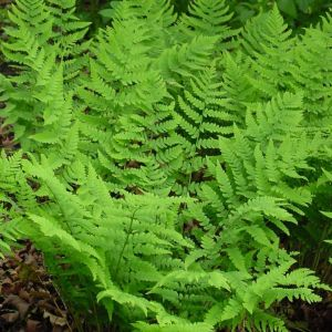 marginal-wood-fern-dryopteris-marginalis